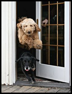 Meet Buddy and Luke. This happens every time the door is opened. Luke is the one that's airborne. I love this photo.