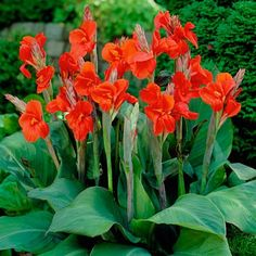 tall canna lily   Canna Lily The President, Canna Lily - Sprng Bulbs from American ...