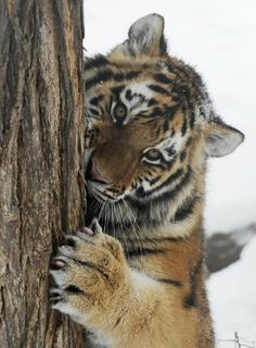 Tiger cub at Skopje Zoo in Macedonia. The Skopje Zoo is a zoo in Gradski Park. It is home to about 300 animals representing around 85 species. Most Beautiful Animals, Beautiful Cats, Beautiful Creatures, Bengalischer Tiger, Tiger Love, Big Cats, Cute Cats, Gato Grande, Amur Leopard