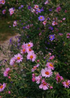 Sturdy AsterFollowing closely on the heels of mums in popularity are the asters. There's a reason these perennials are favorites: Their pink, blue and purple flowers (usually with a bright yellow center) offer a cool contrast to the warmer autumn colors of the changing leaves and grasses. They're also hardy in almost every climate. Aster x frikartii 'Monch' and 'Wonder of Strafa' bloom from summer to well into fall, and even through winter in the mildest areas, but they don't always live as…