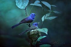 Black-naped monarch or Black-naped Blue Flycatcher (Hypothymis azurea)