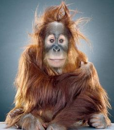 "Jill Greenberg  ""Monkey portraits"""