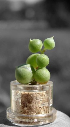 Pearls Boo Boo Plant or Mini Baby Pet Tree | Boo-Boo Plant
