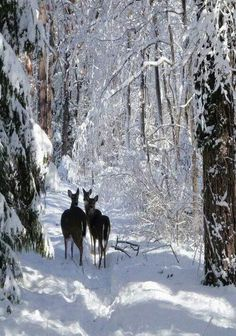 A trio of deer in the snow