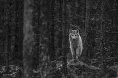 Buy the Wolf watch wall print - a category finalist from the Wildlife Photographer of the Year 53 competition Wildlife Photography, Animal Photography, Eurasian Wolf, Wolf Watch, Photography Competitions, Lone Wolf, Circle Of Life, Hunting Dogs, History Museum