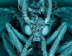 Moth fly (Psychodidae) Kevin Mackenzie, University of Aberdeen