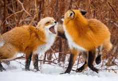 Two red foxes counting during the mating season. Prince Edward Island, Canada.