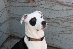 My name is Carmelo, I'm an energetic & playful 2-year old boy, and I settle down after a good walk, or possibly a run. I had a DNA test done, I am part Canaan Dog! I came to the shelter in December as a stray, and now I'm ready to move out and find my new forever home. If you adopt me, I'll be your loyal companion! Carmelo is ACR# 21809 at Oakland Animal Services.