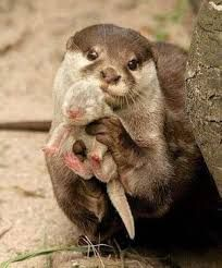 Image result for otter mom holding baby