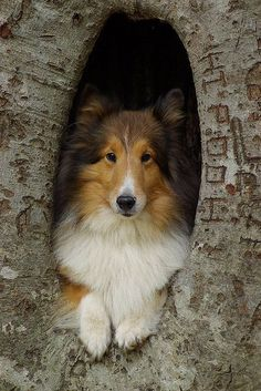 I like this picture.  Can't figure out how they got the dog in the tree.  #puppied PP:  Love Shelties!!