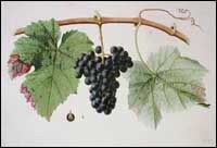 Verdot or Petit Verdot red grape, its history, wines, and food pairings Red Grapes, Wines, Australia, California, France, Big, Home, French
