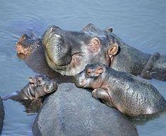 Happy hippo family