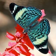 This butterfly seems to be teal! It's raising Ovarian Cancer Awareness just by fluttering by!