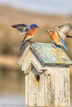Our's are nesting again outside my living room window!!! Bluebird couple