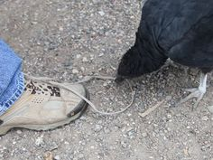 My family and I were visiting a safari park in Texas. There was a tame buzzard in the park that had a fascination with my dad's shoelaces.
