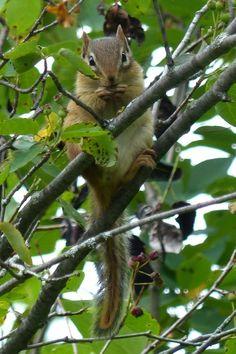 http://faaxaal.forumgratuit.ca/t1842-photos-de-mammiferes-tamia-raye-suisse-tamia-strie-tamias-striatus-eastern-chipmunk#3620
