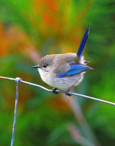 Splendid Fairy Wren | Flickr - Photo Sharing!