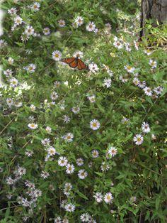 Gulf fritillary nectaring on climbing aster