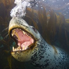 Whose mouth is this?!?! This incredible photo was taken by Paul Nicklen in South Georgia, Antarctica.
