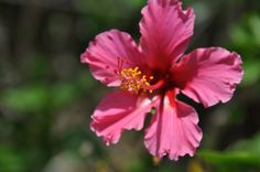 Hibiscus flower from Barbados.