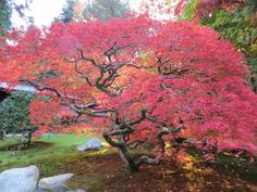 laceleaf maple tree - Google Search