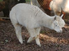 Alpaca Fiber from Mona Lisa by AlpacaPam on Etsy, $1.00 ...