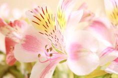 Pink silk pareo