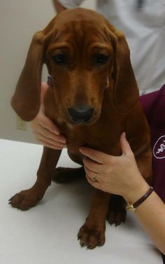 Daisy is a 12 week old Bloodhound mix