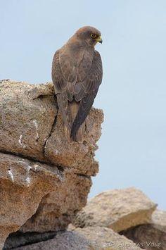 Falkenartige - Google-Suche