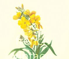 This print is taken from a french book published in 1983. Pierre- Joseph Redoute (1759 - 1840) was a French painter and botanist known for his watercolors of flowers and fr... #cheiranthus ➡️ http://jto.li/nGaZh
