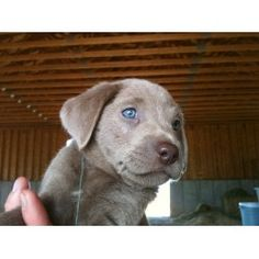 Find local Labrador Retriever Puppies for Sale and Dogs for adoption near you. If you are looking to adopt or buy a Labrador take a look here! Or advertise your Labrador Puppies for free. Silver Lab Puppies, Silver Labs, Free Dogs, Best Friends Forever, Puppies For Sale, Puppy Love, Best Dogs, Doggies, Dog Lovers