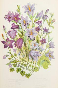 Anne Pratt Antique Botanical Print - Purple BellFlower, Campanula, Harebell…