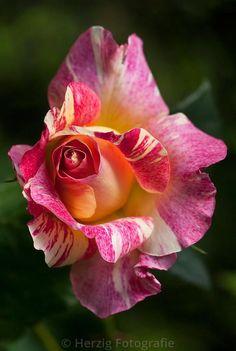 """Photo Rose """"Maurice Utrillo"""" - Malerrose, Malerrosen, Delbard by Tina & Horst Herzig Photography - Roses - HT & GF - Blumen Amazing Flowers, Beautiful Roses, Beautiful Gardens, Beautiful Flowers, Beautiful Life, Pretty Roses, Photo Rose, Coming Up Roses, Hybrid Tea Roses"""