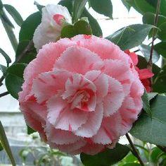 Camellia japonica 'Doutor Balthazar de Mello' (Portugal, 1889)