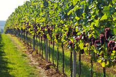 stock photo of grape vines - rows of wine grapes in backlight - JPG
