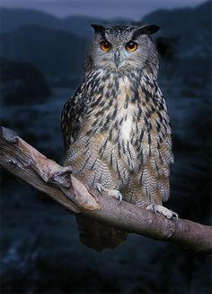 Beauty Rendezvous - superbnature: Night Owl by msmclellan...
