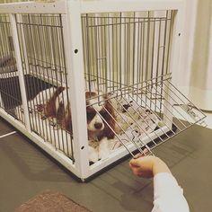 また気がついてないティム!開いてるのに!いや開けてあげてるのに💦 #キャバリア#ブレンハイム#キャバリア部 #dog#フワモコ#愛犬#犬のいる生活に #キャバリアキングチャールズスパニエル #cavlife #cavalier #blenheim #🐶 #dogslovers #cavliers #CKC #kingcharls #puppy #cute #cavstyle #cavstagram #dogofthday #dogsofinstagram #ckcs #funnypuppy #おとなしい犬 #おてんば犬