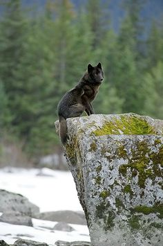 Black wolves are so powerful looking!