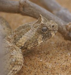 Horned adder @ Namib