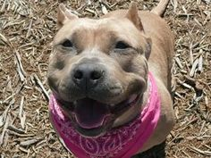 Snookie is an adoptable Pit Bull Terrier Dog in Kent, WA. Hi, my name is 'Snookie' and I'm at the Regional Animal Services shelter in Kent waiting for a new home. You can also find me by my ID # A3965...