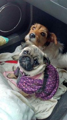 Lala the pug with best friend Rosie waiting for a a subway