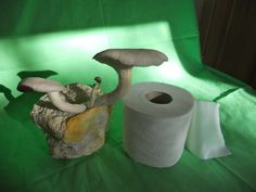 Before and after of elm oyster mushrooms growing on a roll of toilet paper