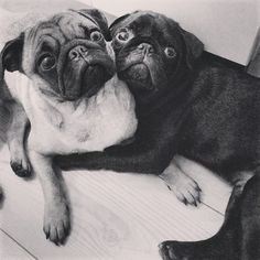 pugadise:  Cuddle time!!  I never get tired at looking at pug pics