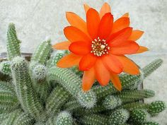 Peanut-Cactus-Close-up.jpg (640×480)