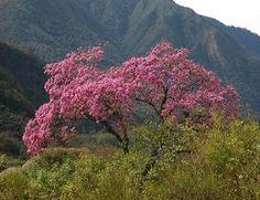 El Salvador National Tree - Bing Images