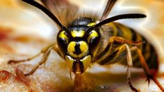 Yellow jackets may be a beneficial insect, but it doesn't matter much when they are swarming around your pitcher of sweet tea. Here's how to remove them from the yard without any chemicals.