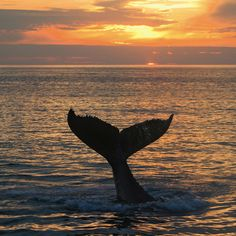 Buckelwal bei Sonnenuntergang  Humpback whale at sunset