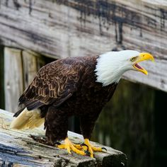 hey Im over hear by Evan Spellman on YouPic Bald Eagles, River, Bird, Animals, Animales, Animaux, Birds, Animal, Animais