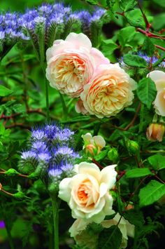 David Austin rozen voor de gemengde border. | tuinenstruinen.org