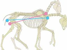 The pink horse has shortened the distance from seatbone to base of neck